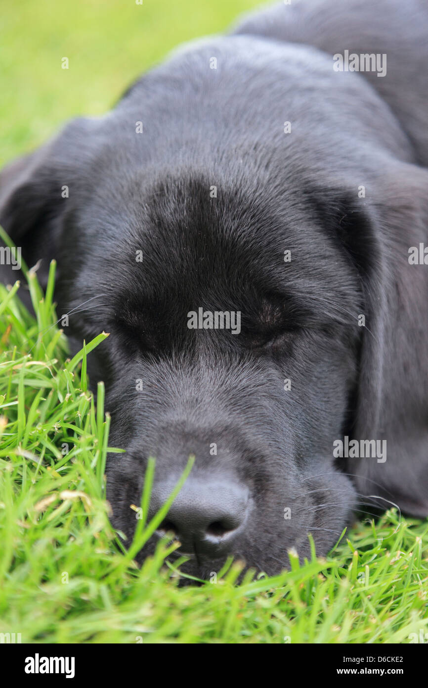 Black Labrador puppy dog lying with eyes closed asleep on grass outside. Three months of age. - Stock Image