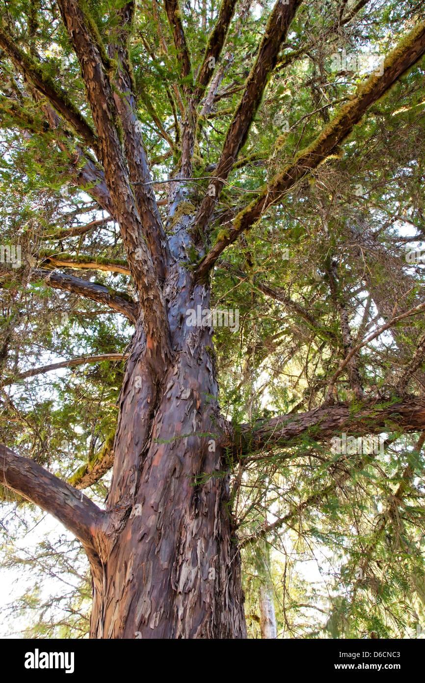 Pacific Yew tree, looking upward, 'Taxus brevifolia'. - Stock Image