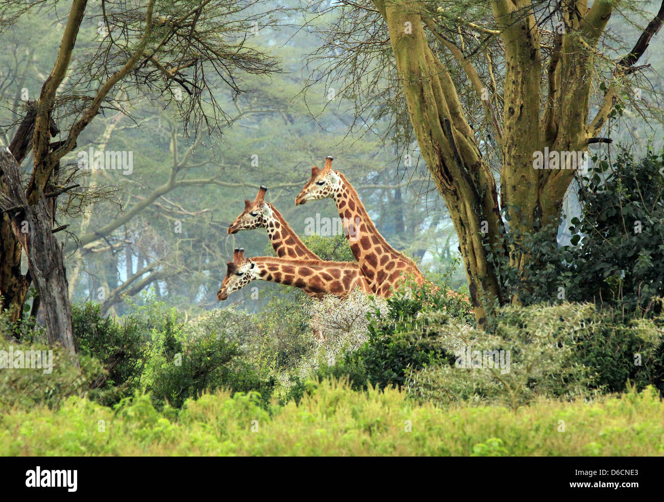 Three Maasai Giraffes (Giraffa Tippelskirchi) in the Bush, Lake Nakuru, Kenya - Stock Image