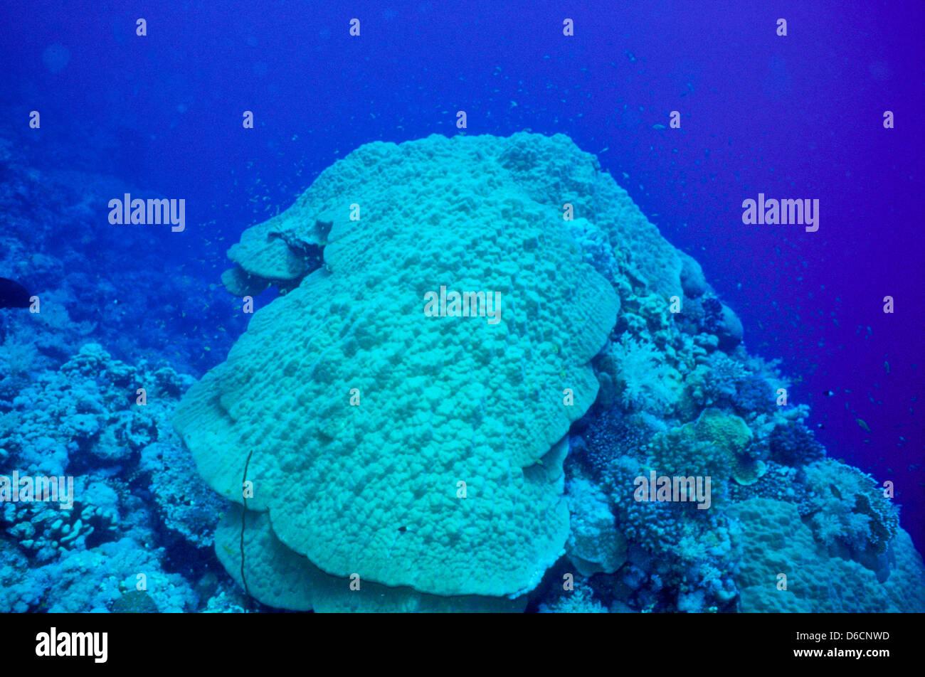 mountain coral porites lutea red sea dec 1986 underwater slide stock
