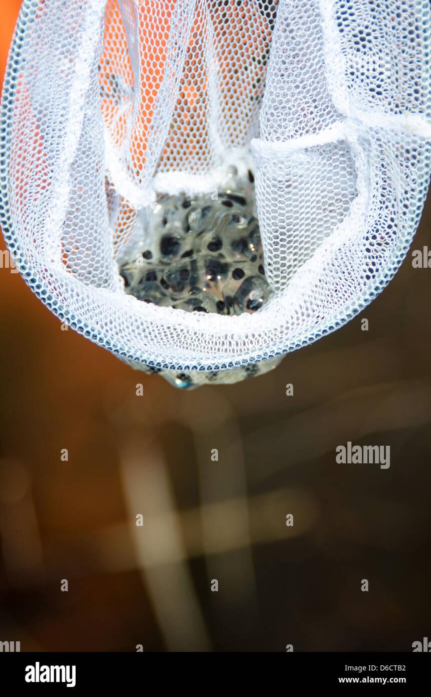 White mesh dip net holding a mass of frog's eggs - Stock Image