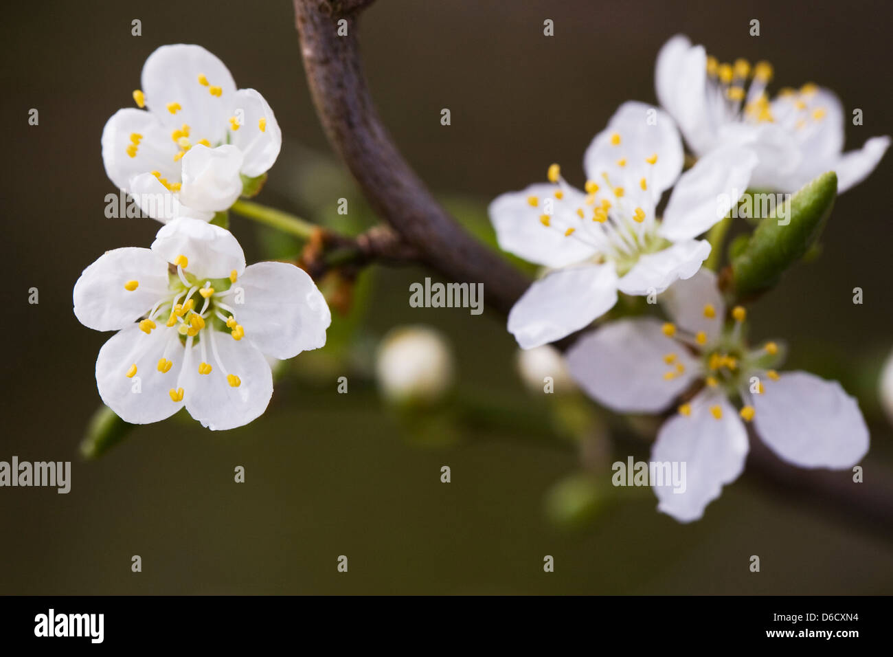 Prunus spinosa. Blackthorn blossom in the hedgerow. - Stock Image