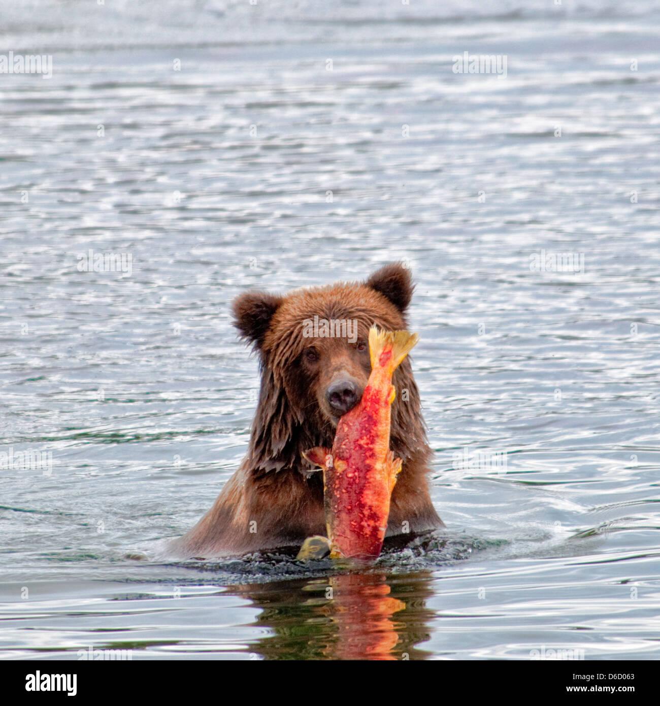 Grizzly Bear, Ursus arctos horriblis, carrying salmon out of the Brooks River, Katmai National Park, Alaska, USA - Stock Image