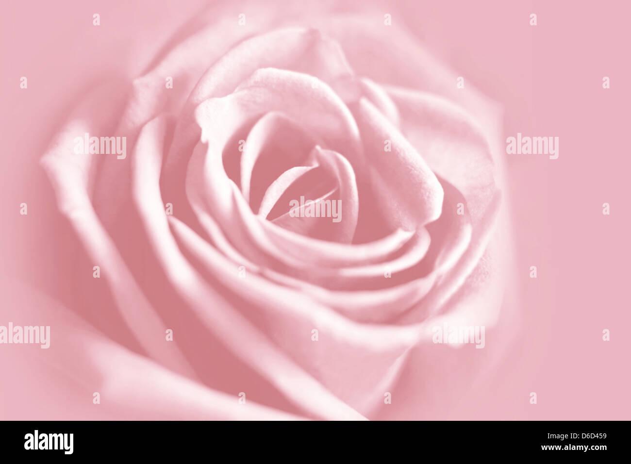 gentle pink rose background - Stock Image