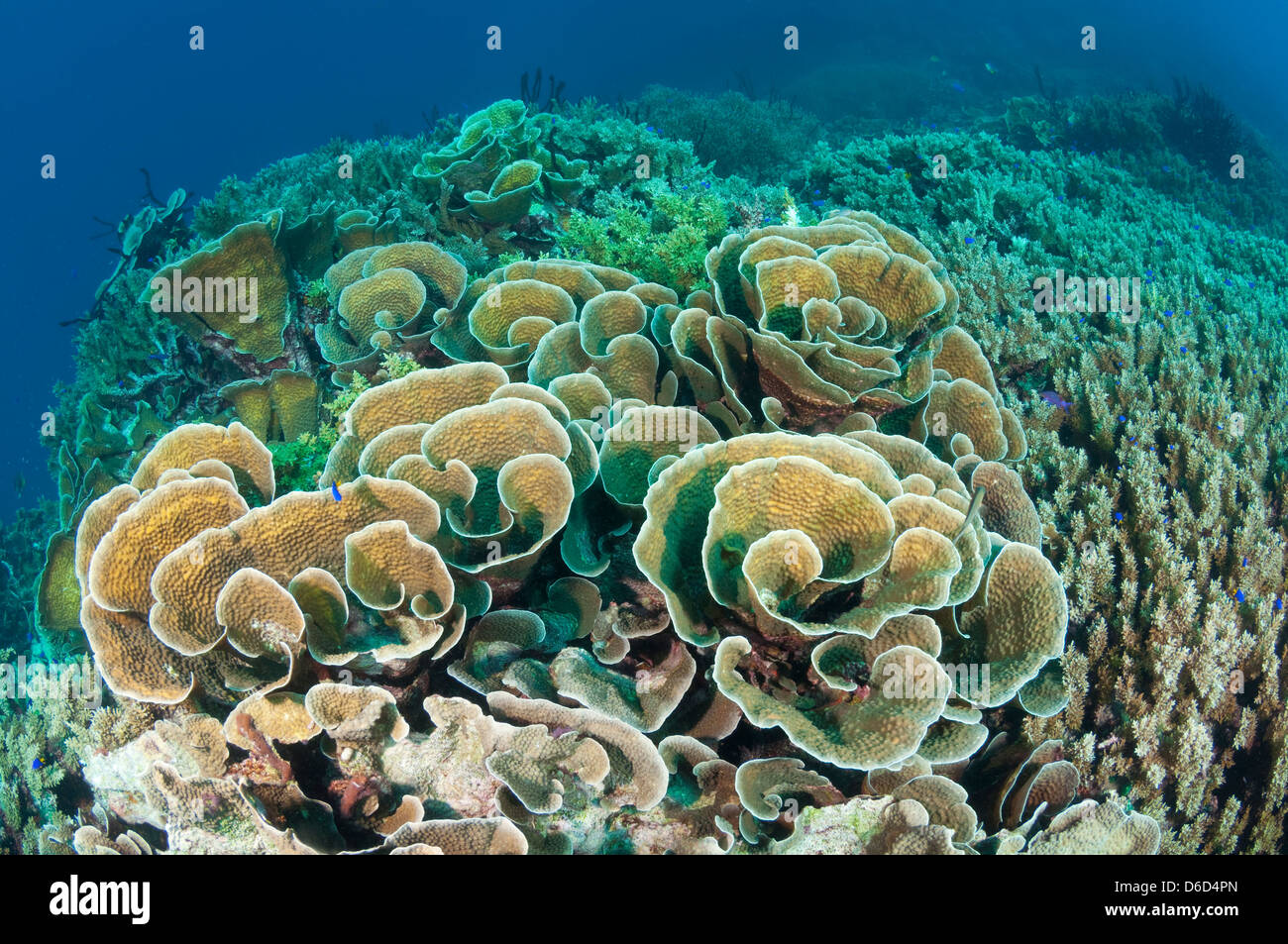 A large patch of coral at the top of an underwater seamount. - Stock Image