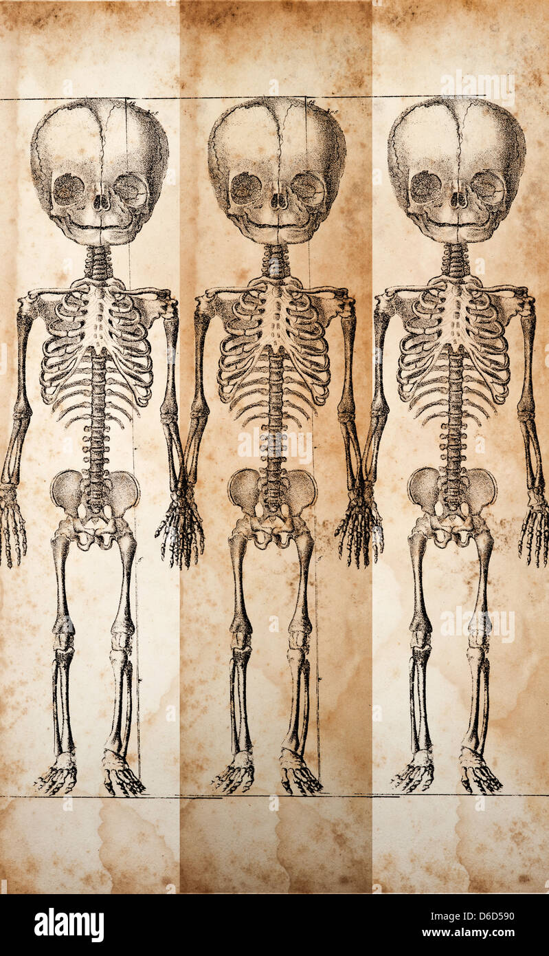Human Baby Skeleton Stock Photos & Human Baby Skeleton Stock Images ...