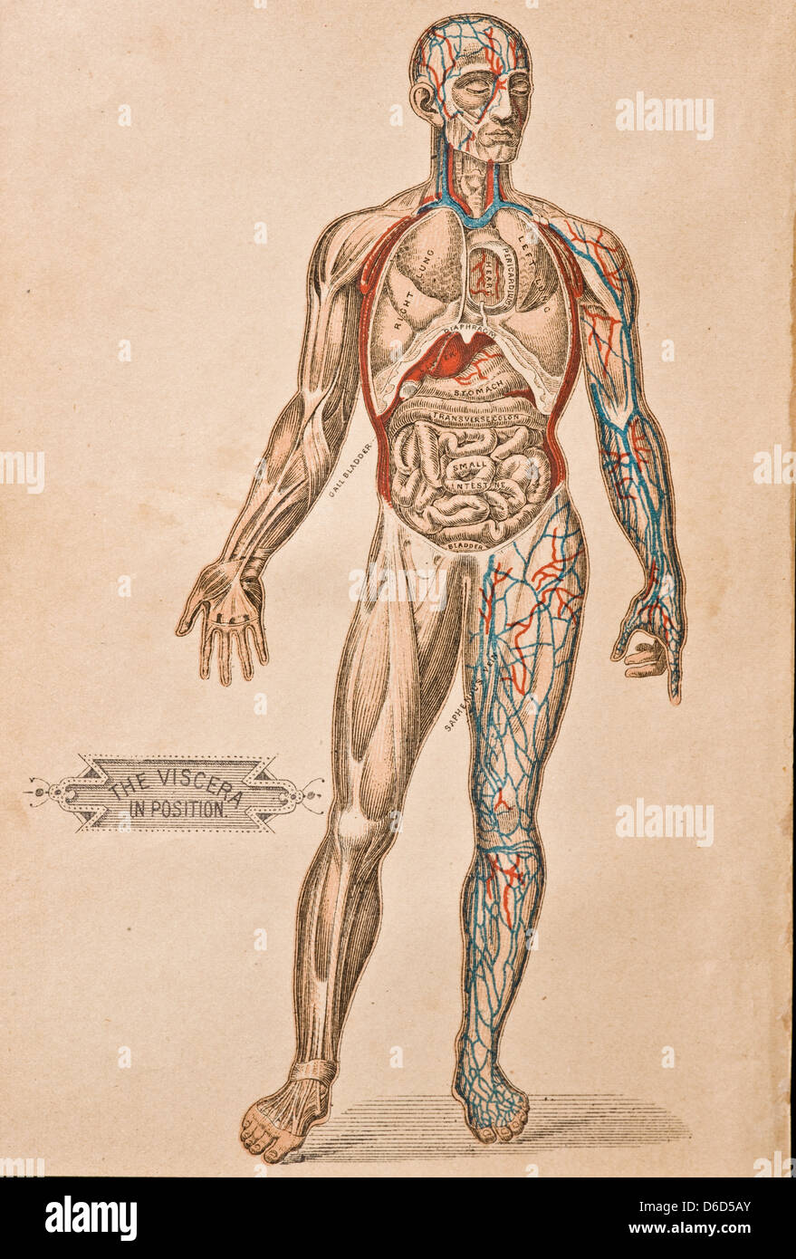 An antique illustration of the organs and arteries in the human body. - Stock Image