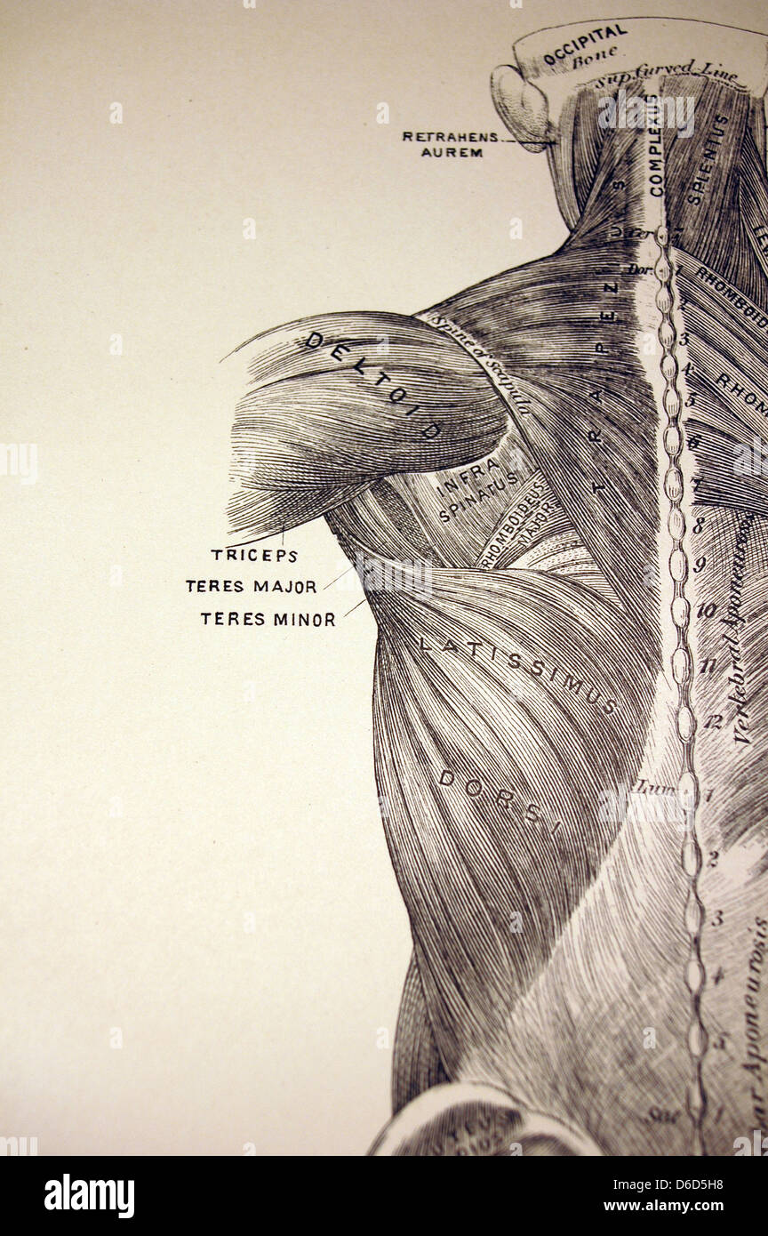 Antique illustration showing the muscles of the back. Stock Photo