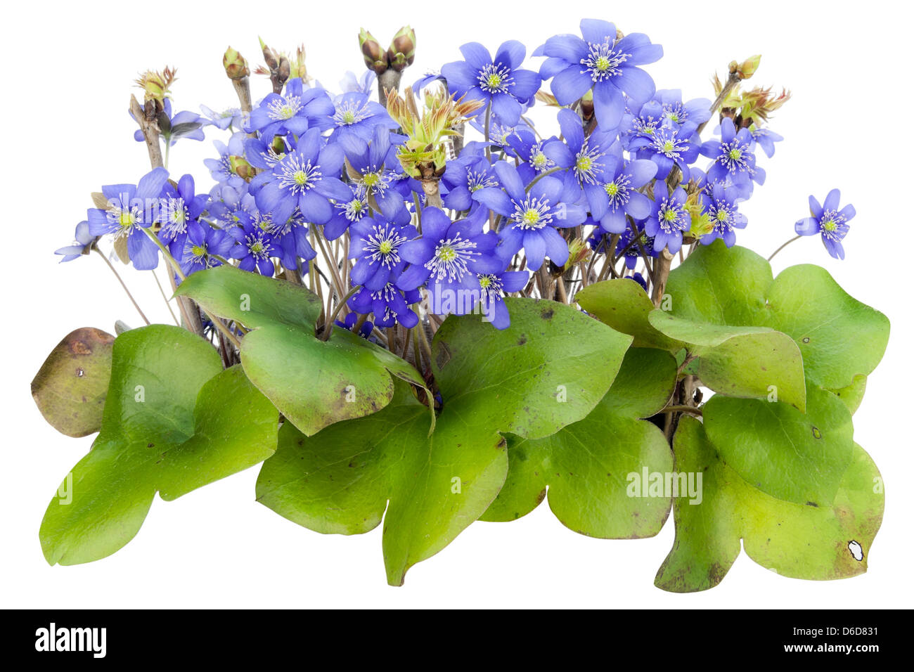 Bush of real first springs flowers isolated stock photo 55610773 bush of real first springs flowers isolated mightylinksfo