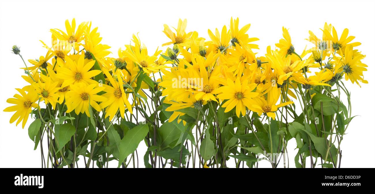 Topinambur Yellow Flowers Border Stock Photo 55614714 Alamy