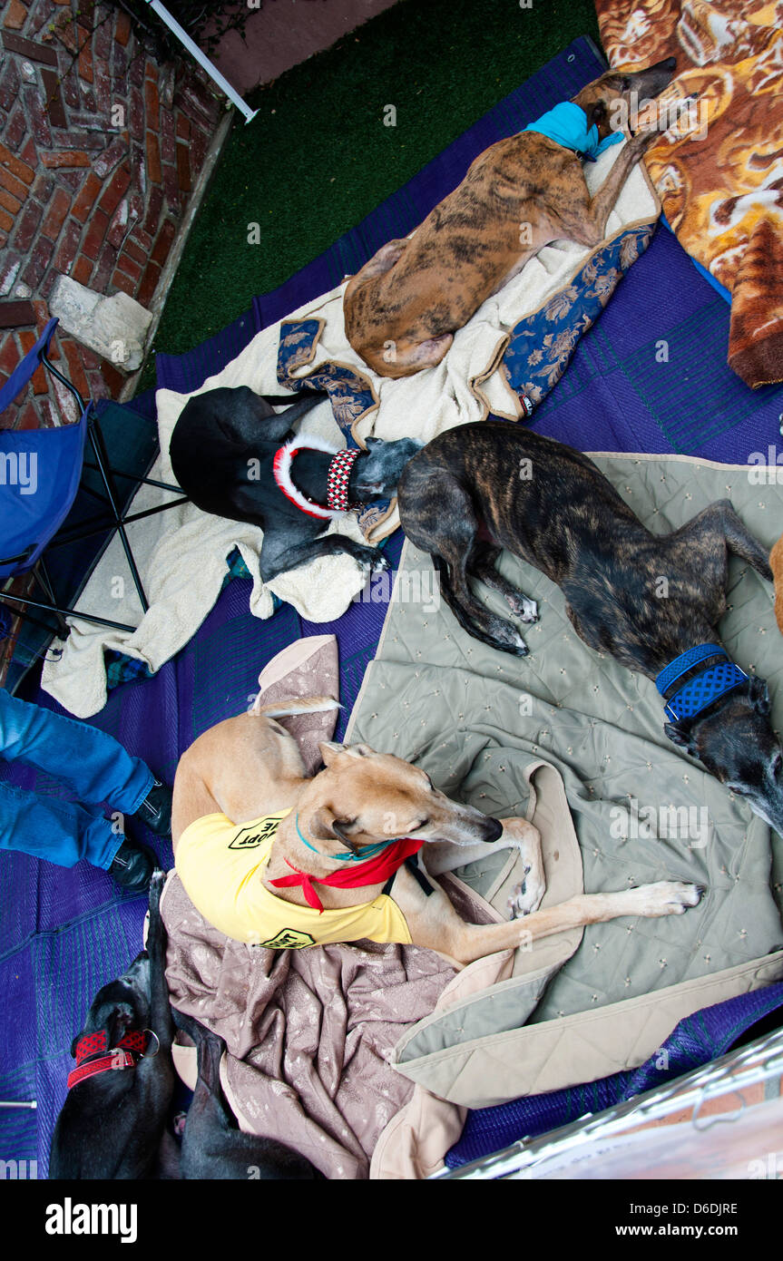 Greyhound dogs waiting for adoption - Stock Image
