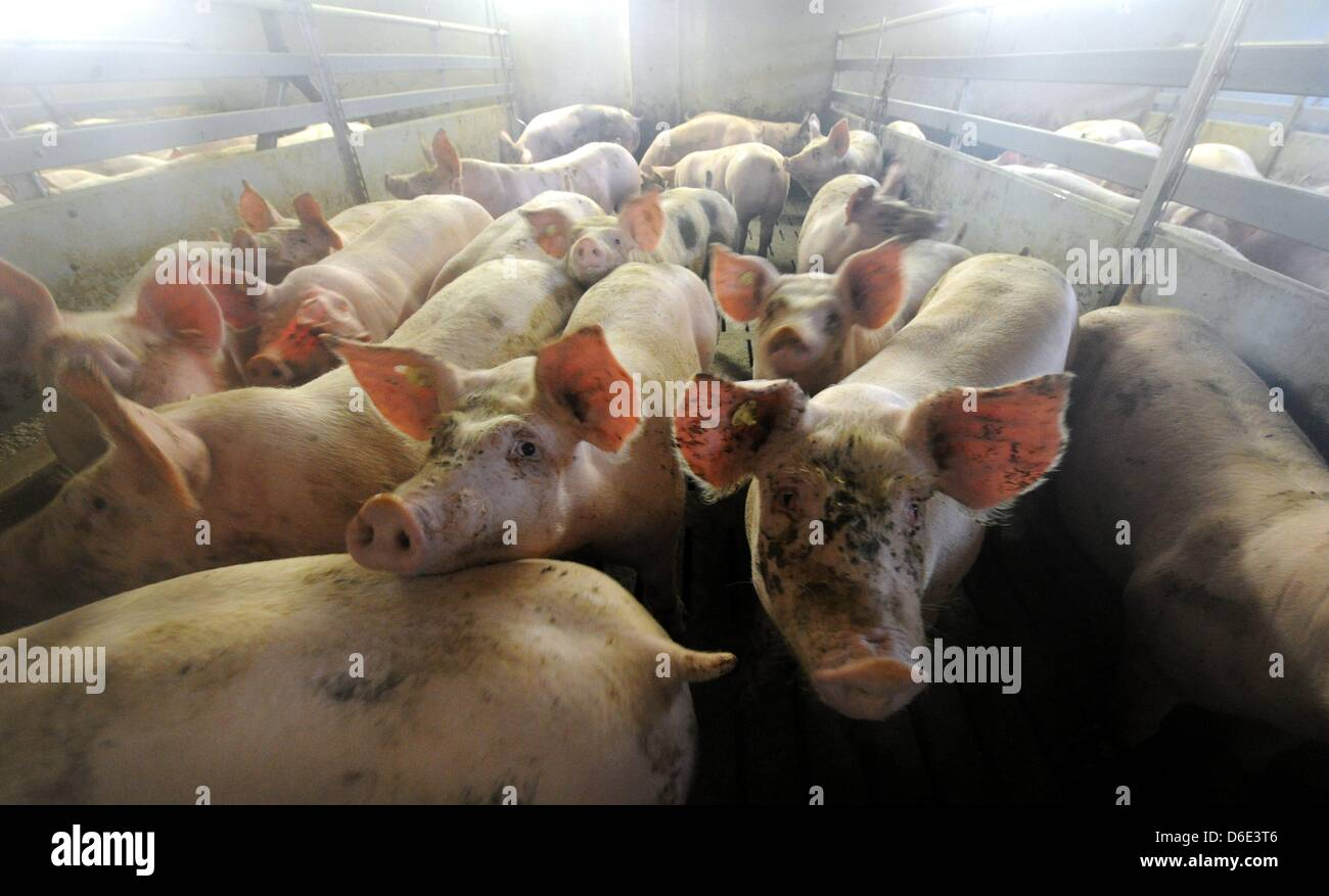 Pigs are pictured in a barn of a fattening farm in Tappendorf, Germany, 18 January 2012. The Farmers' Association - Stock Image