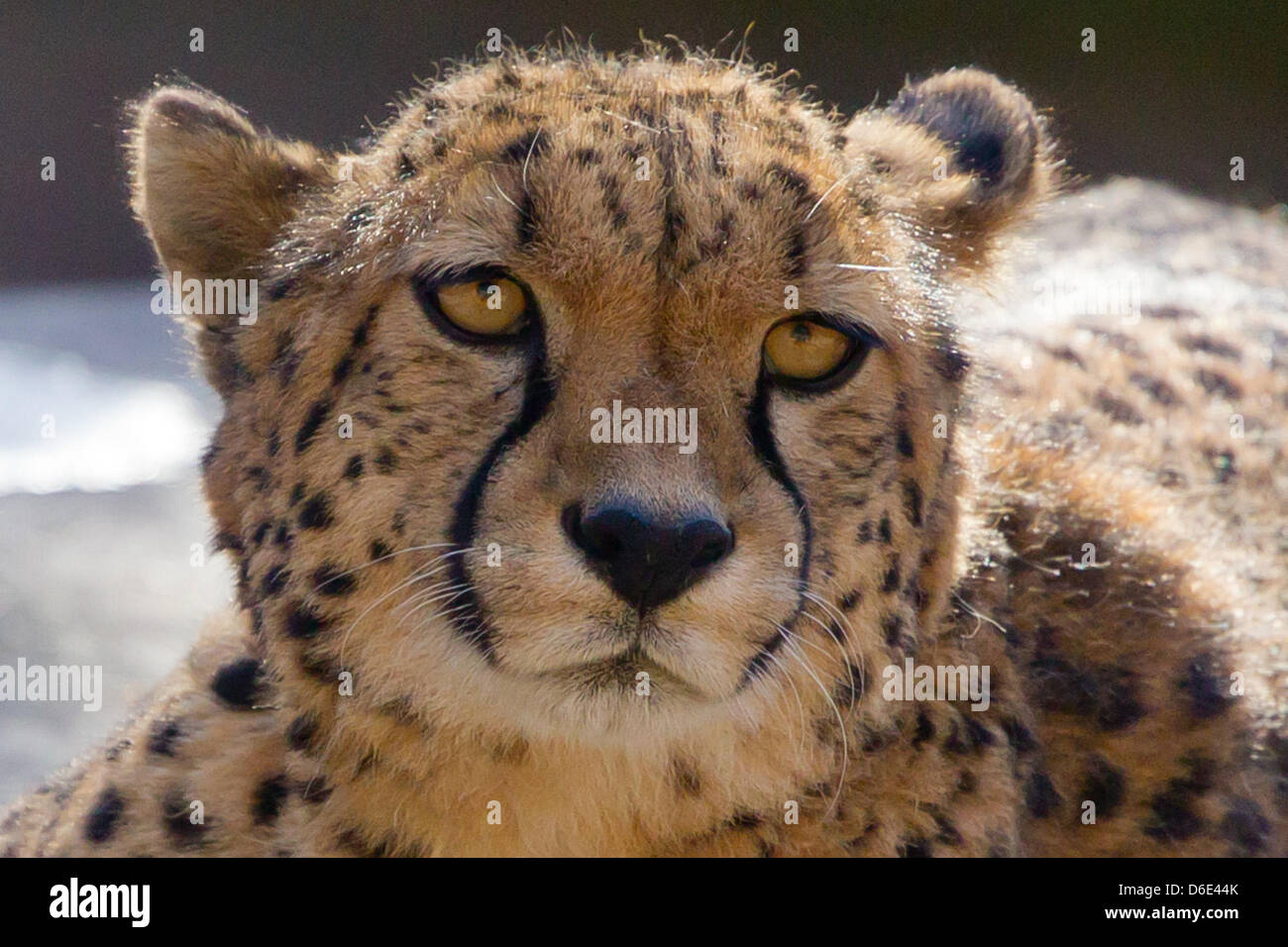 Cheetah 'Kelly' suns herself in her enclosure at the zoo in Nuremberg, Germany, 18 January 2012. Kelly's - Stock Image