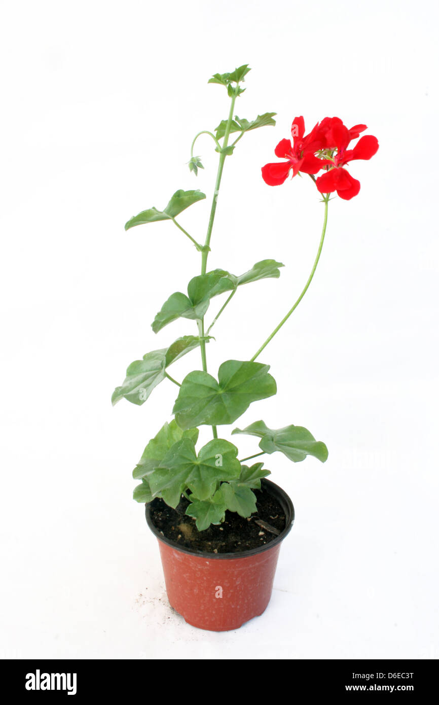 Nursery flower in a pot - Stock Image