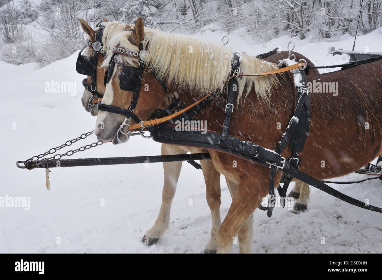 Haflinger horses in front of a sleigh in winter Stock Photo ...