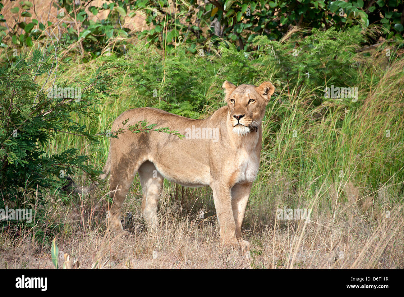 African lion surveys the Savannah in Antelope Park, Zimbabwe. - Stock Image