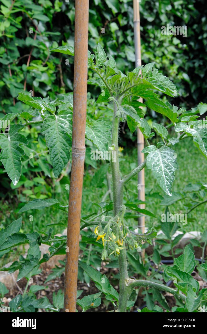 Sulphur Powder Stock Photos & Sulphur Powder Stock Images
