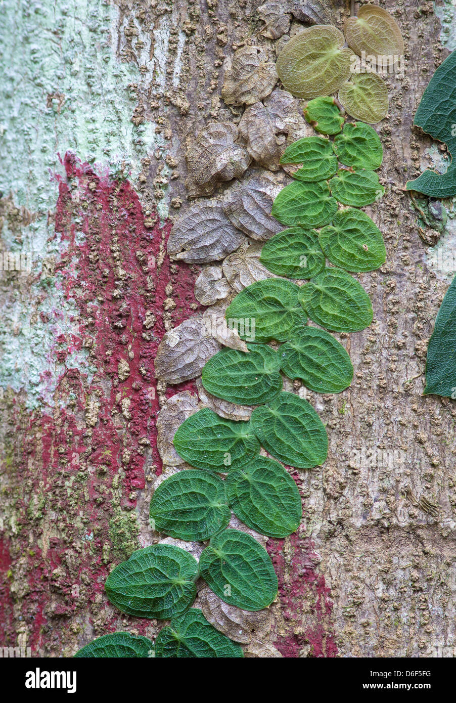 Colourful rain forest tree trunk covered with red and pale green algae and flat leaved creeping vines in various - Stock Image