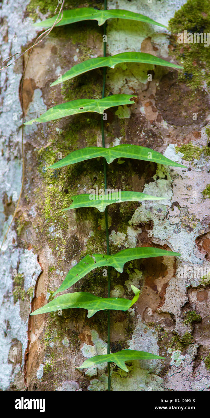Flying bird-shaped leaves of a climbing vine on a rainforest tree trunk by the Kinabatangan River in Sabah Malaysian - Stock Image