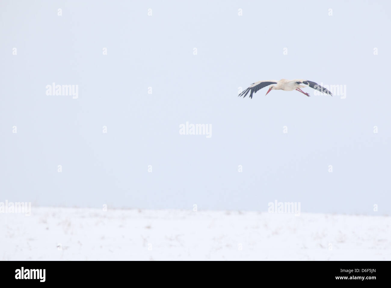 White Stork (Ciconia ciconia) has just arrived to his breeding grounds, which is still covered in snow. Europe, - Stock Image