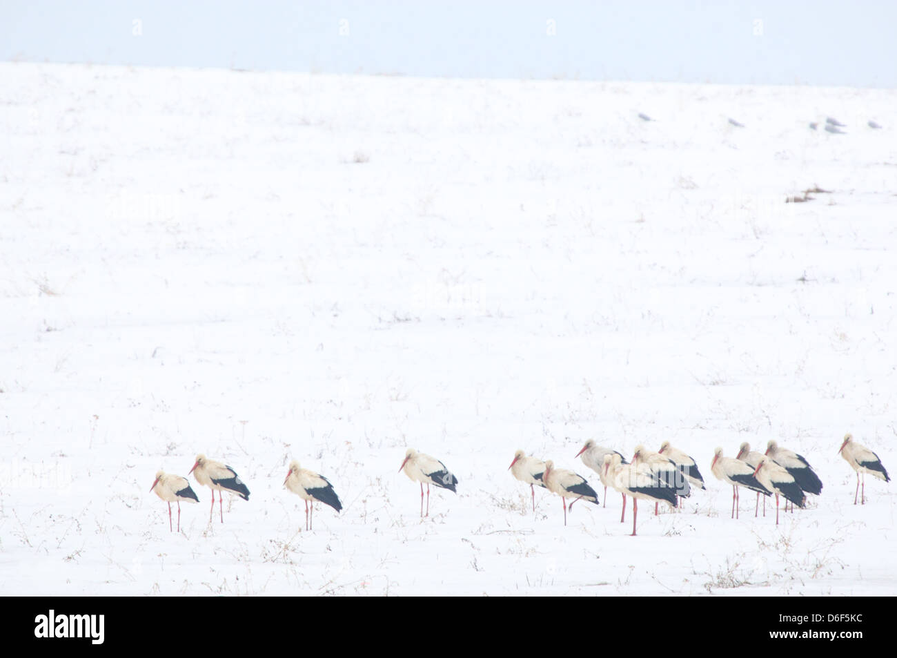 Flock of White Storks (Ciconia ciconia) arrived from Africa to Estonia into breeding grounds. Fields are still covered - Stock Image