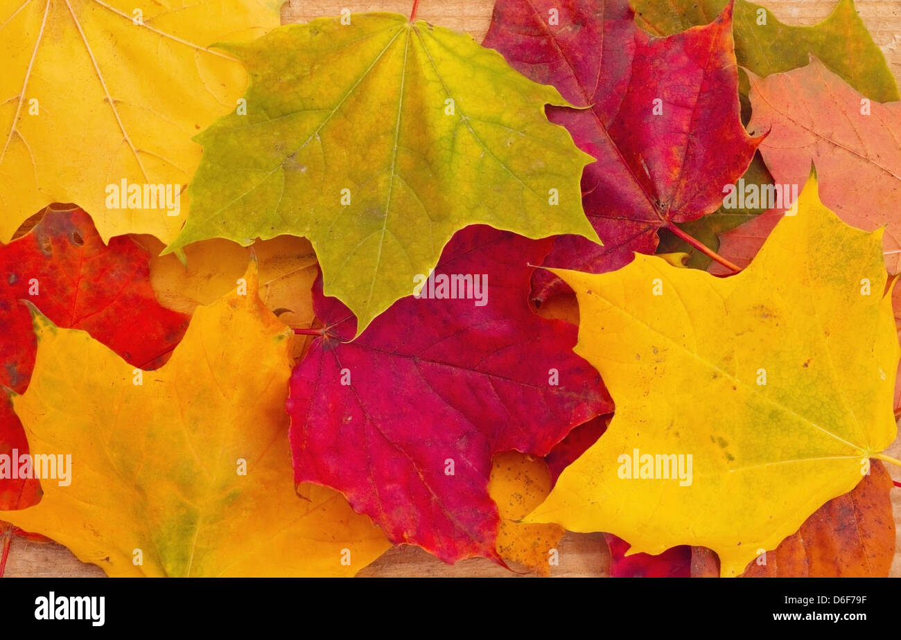 Background from autumn maple leaves Stock Photo