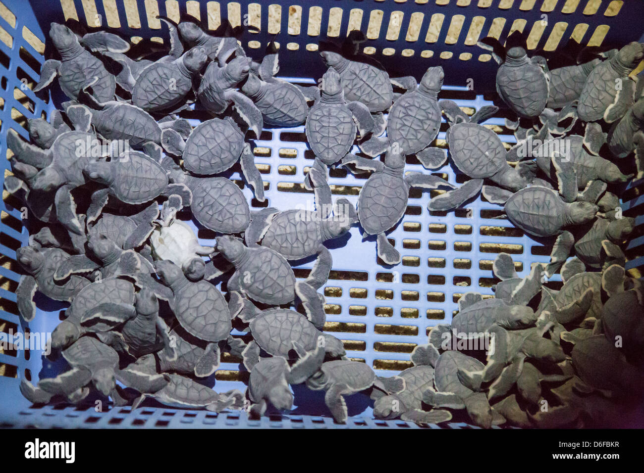 Newly hatched Green Turtles in a plastic bread basket waiting to be released into the sea on an island in Sabah - Stock Image