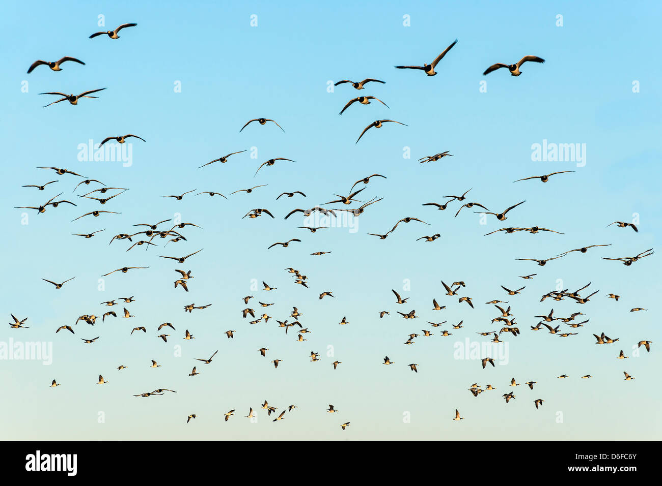 Flock of black-headed gulls in the evening sun on blue sky - Stock Image