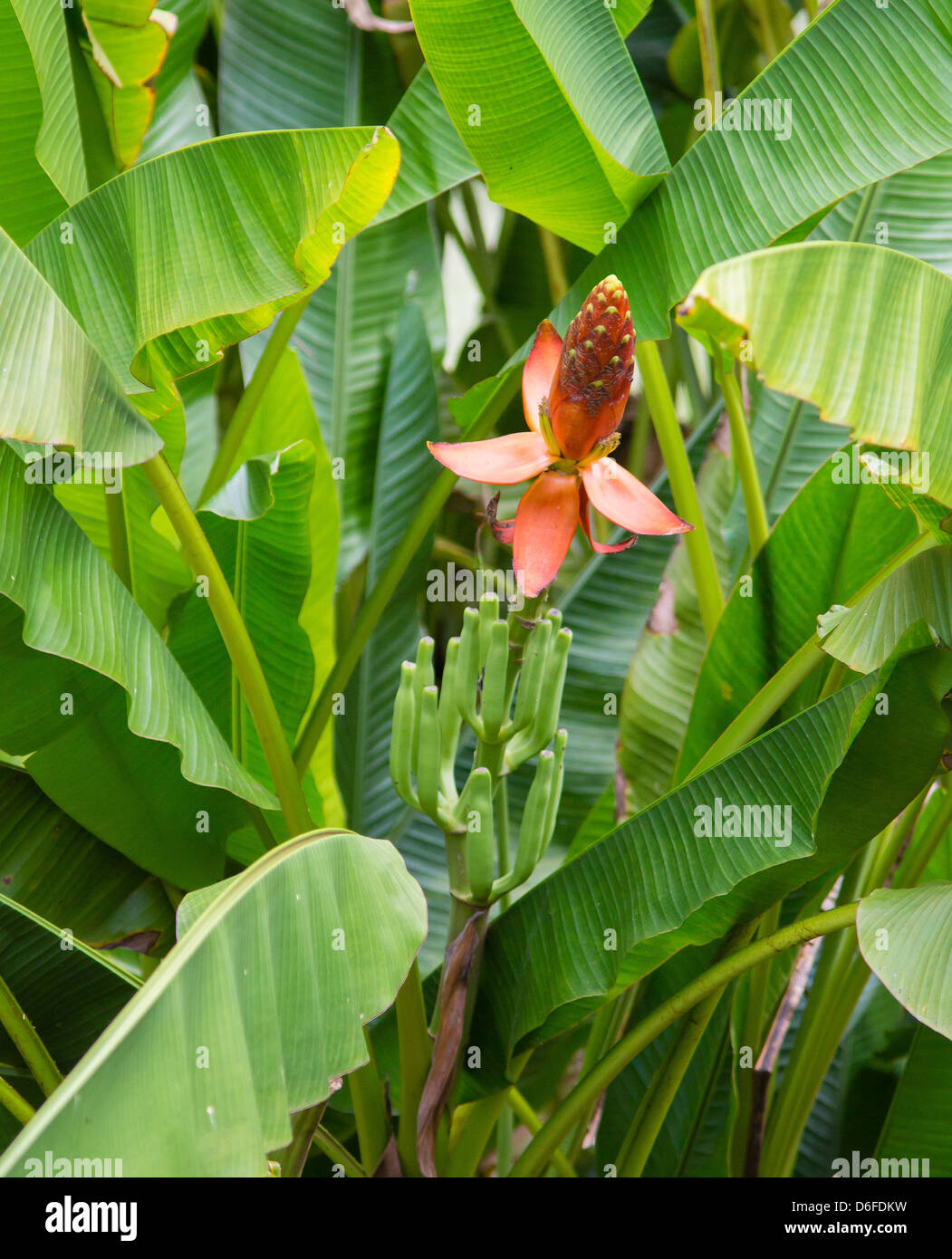 Banana plant Musa sp with orange flowers growing as an ornamental plant in a garden in Sabah Borneo - Stock Image