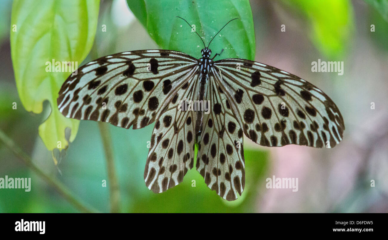 The graceful Wood Nymph Butterfly Ideopsis has a  wingspan of up to 15 cm Danum Valley rainforest Borneo Stock Photo