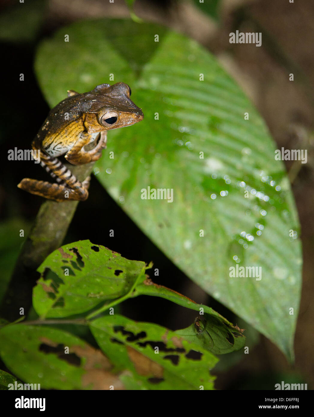 Young File Eared or Borneo Eared Tree Frog Polypedates otilophus at night Danum Valley Sabah Borneo - Stock Image
