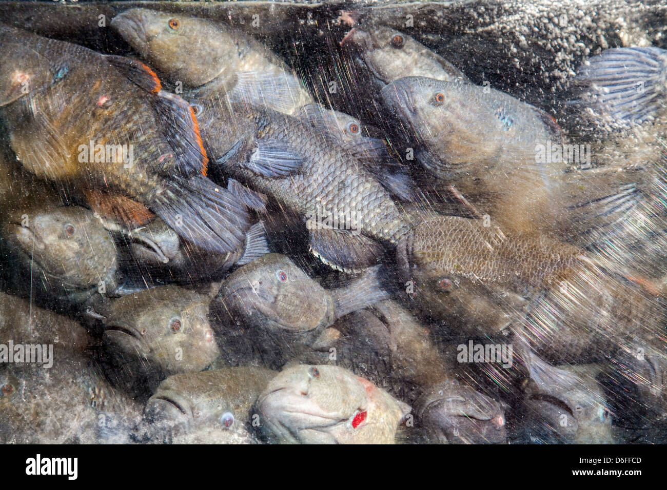 Fish in tank await fate at restaurant, Chinatown, New York City - Stock Image