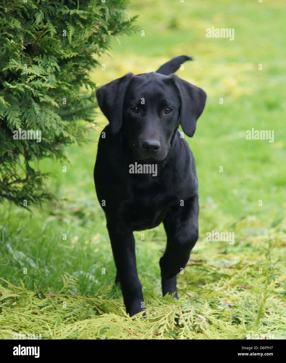 Six month old black Labrador Retriever puppy running towards camera - Stock Image