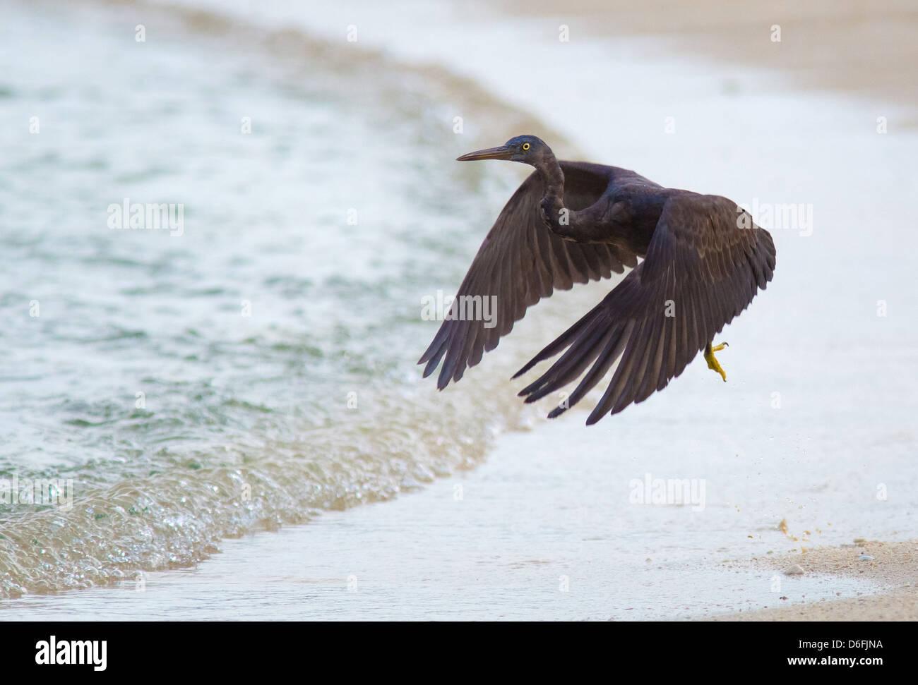 Pacific Reef Egret Egreta sacra ( dark morph ) lifting off from the beach on Selingan Island Marine Park Borneo - Stock Image