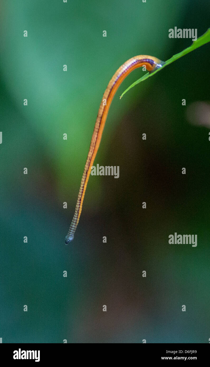 Tiger Leech hanging from a leaf waiting for passing warm blooded mammals in a Borneo Rain Forest - Stock Image