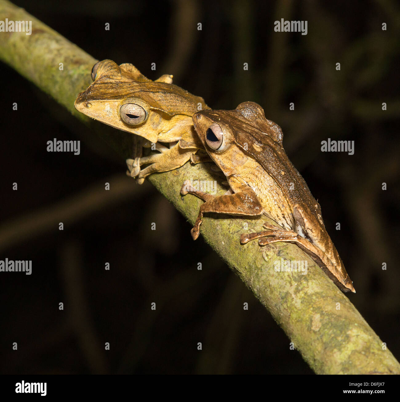 File Eared or Borneo Eared Tree Frog pair Polypedates otilophus on a tree branch  in the Danum Valley Sabah Borneo - Stock Image