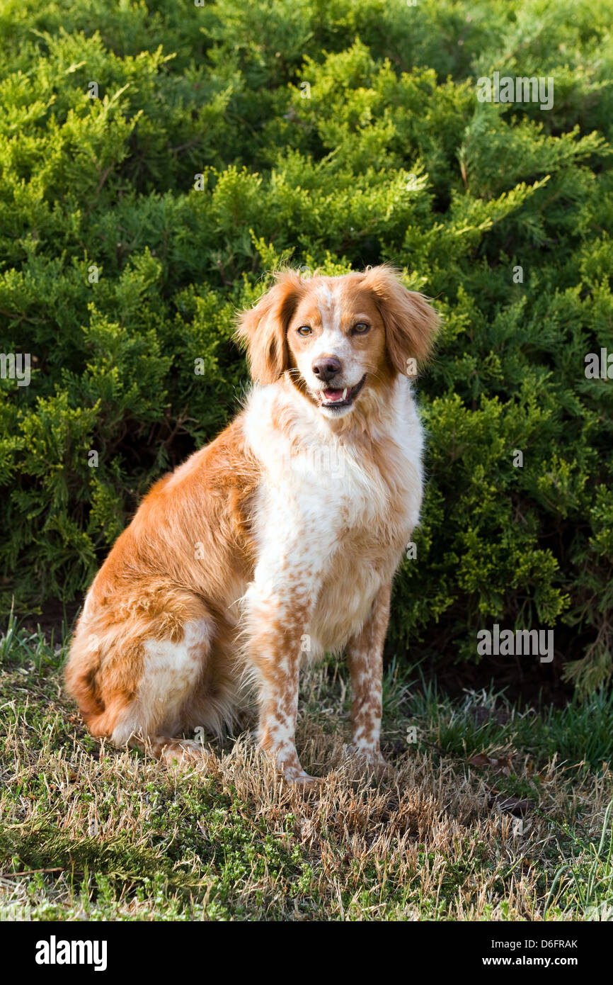French Brittany Spaniel hunting dog sits outdoors in front of an evergreen. - Stock Image
