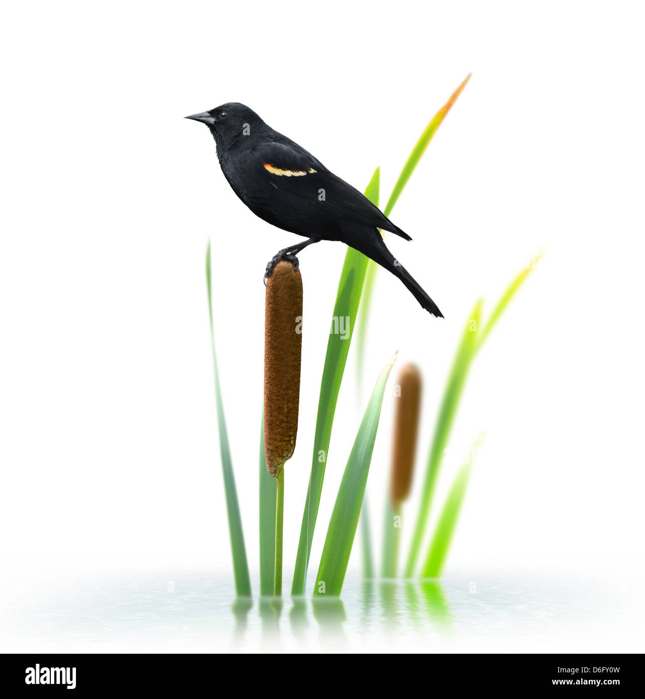 Red Winged Black Bird Perching On A Cattail Plant - Stock Image
