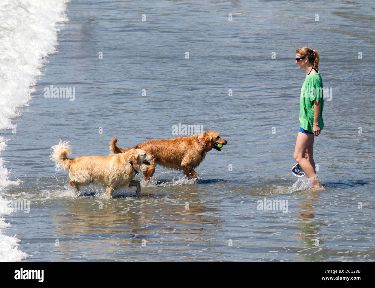 Two Golden Retrievers Bringing Back a Ball from the Ocean - Stock Image