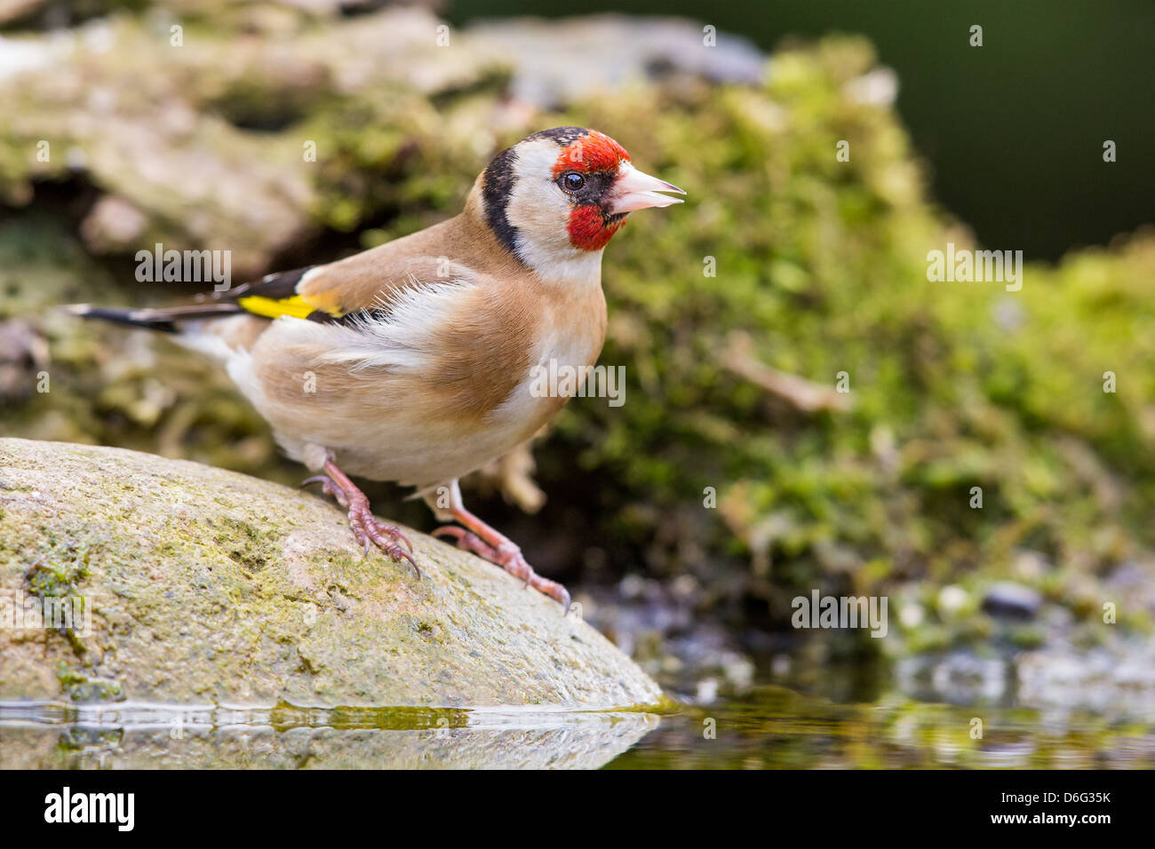 European goldfinch (Carduelis carduelis) standing on a rock at the edge of a stream - Stock Image