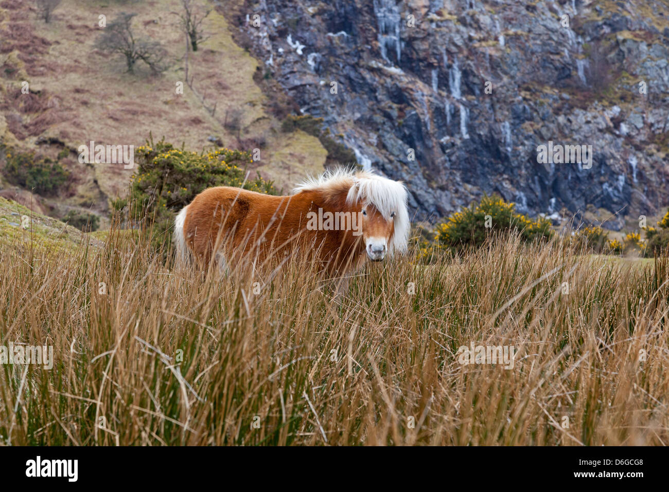 Dartmoor ponies wander through the National Park and are a feature of the landscape in Devon. - Stock Image