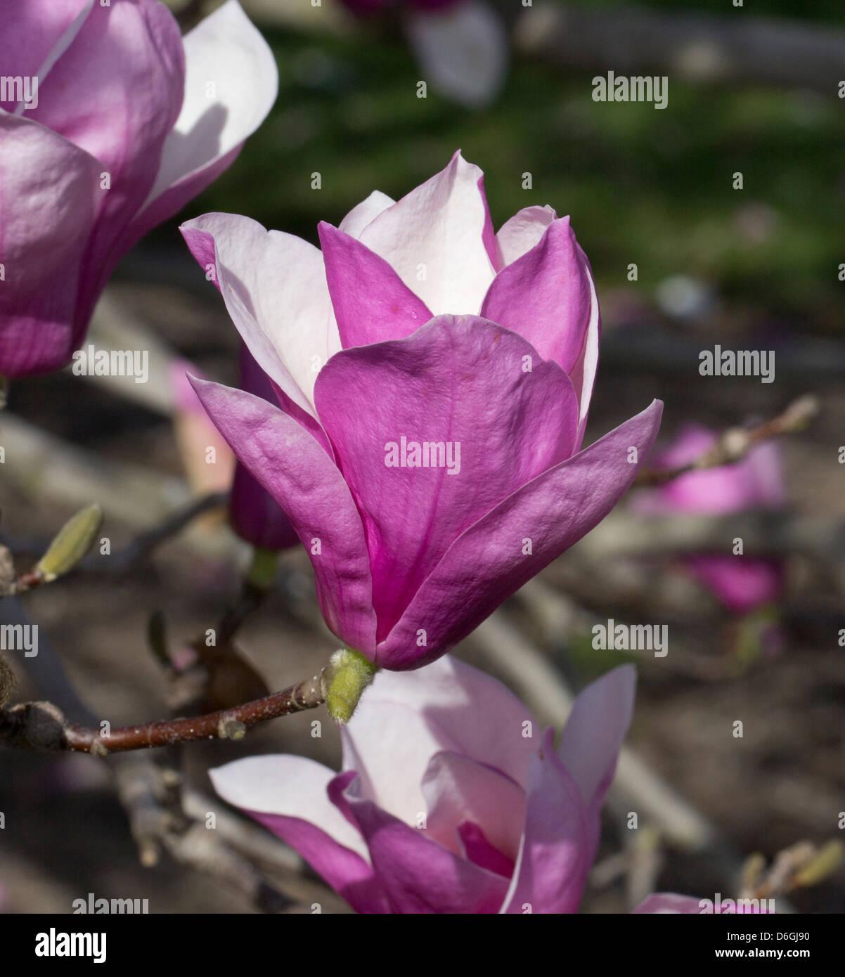 Purple Saucer Magnolia Flower Blossom Stock Photo 55684636 Alamy
