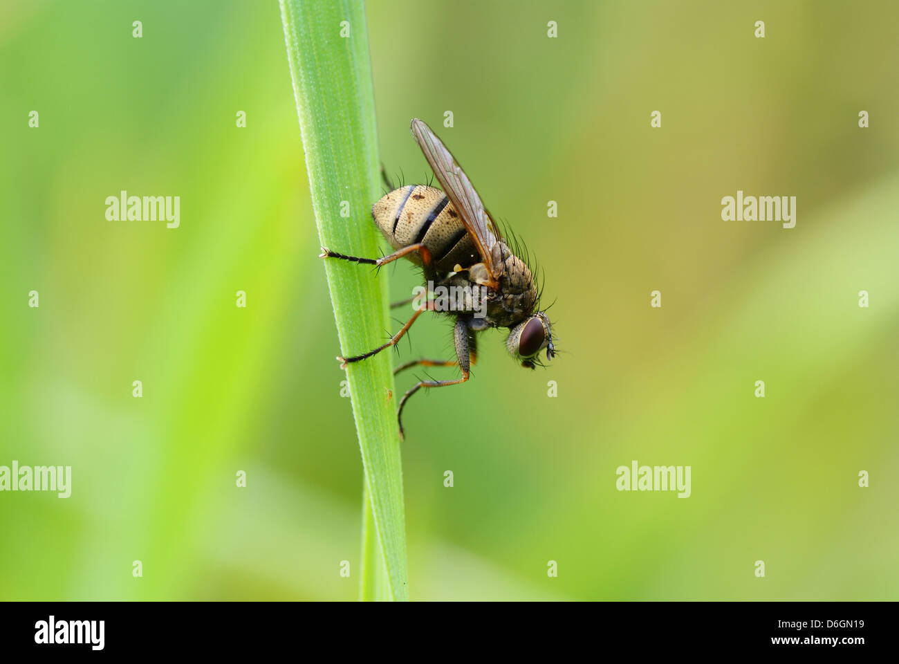 small colourful fly on green grass on background - Stock Image