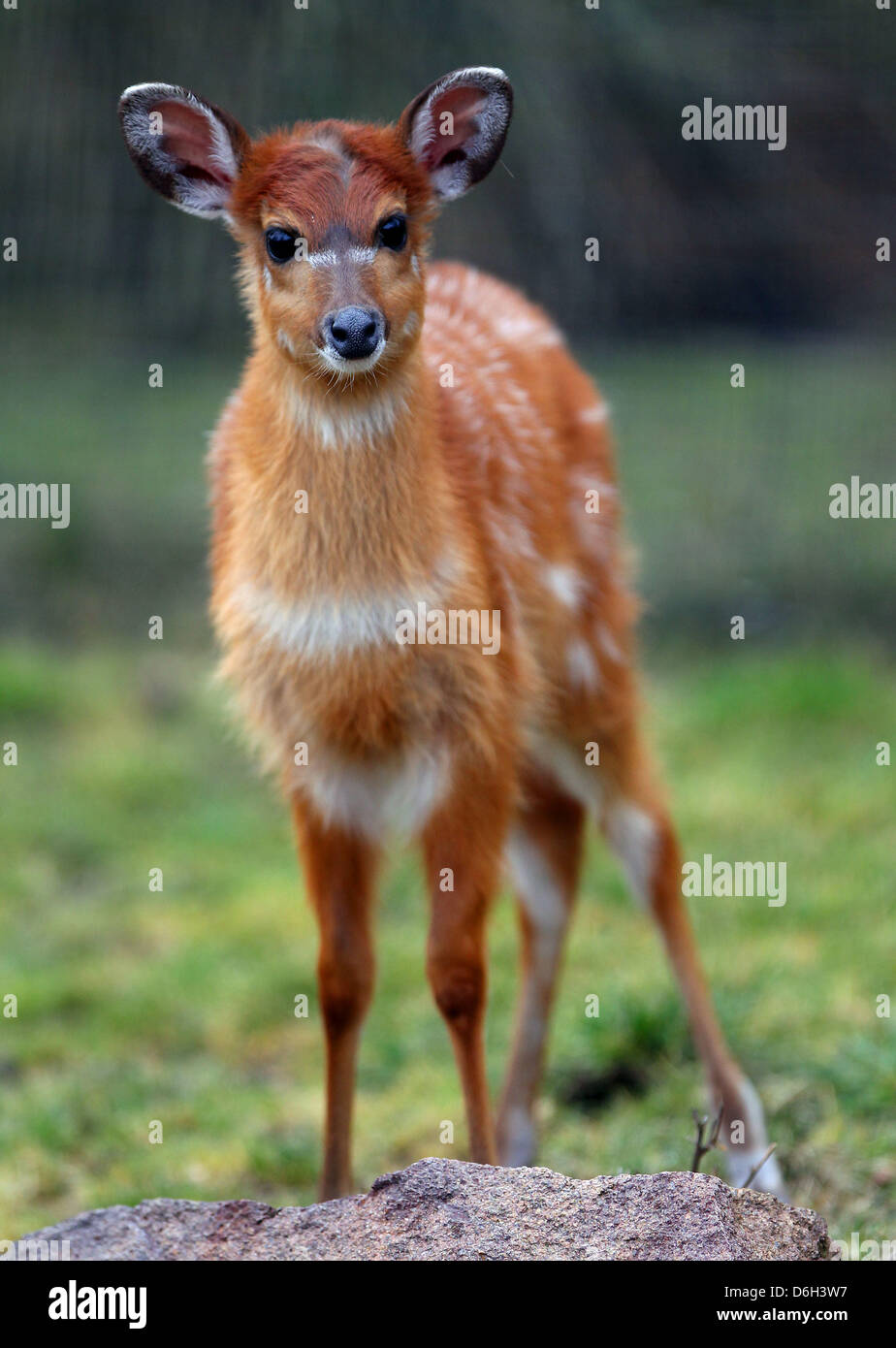 Female Situtunga antelope 'Changa' is pictured at the zoo in Cologne, Germany, 01 March 2012. The marshbuck was Stock Photo