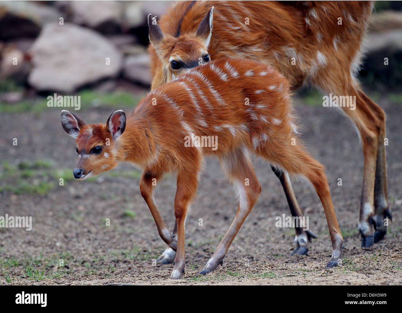 Female Situtunga antelope 'Changa' is pictured next to her mother 'Christel' at the zoo in Cologne, Germany, 01 Stock Photo