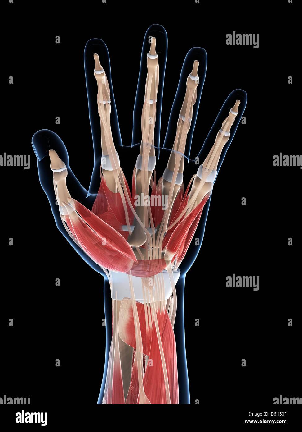 Hand Anatomy Artwork Tendon Stock Photos Hand Anatomy Artwork