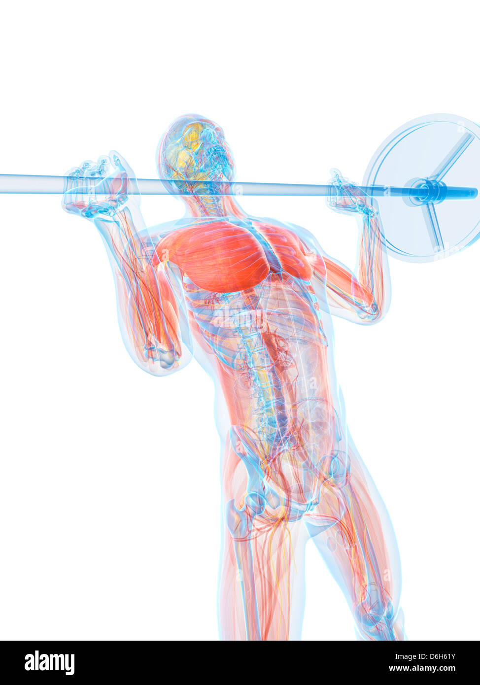 Male Torso Anatomy Stock Photos Images Diagram Artwork Image