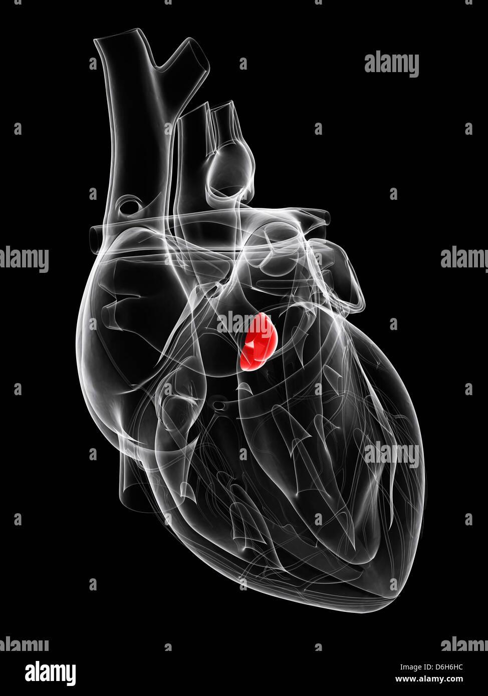 Aortic valve, artwork - Stock Image