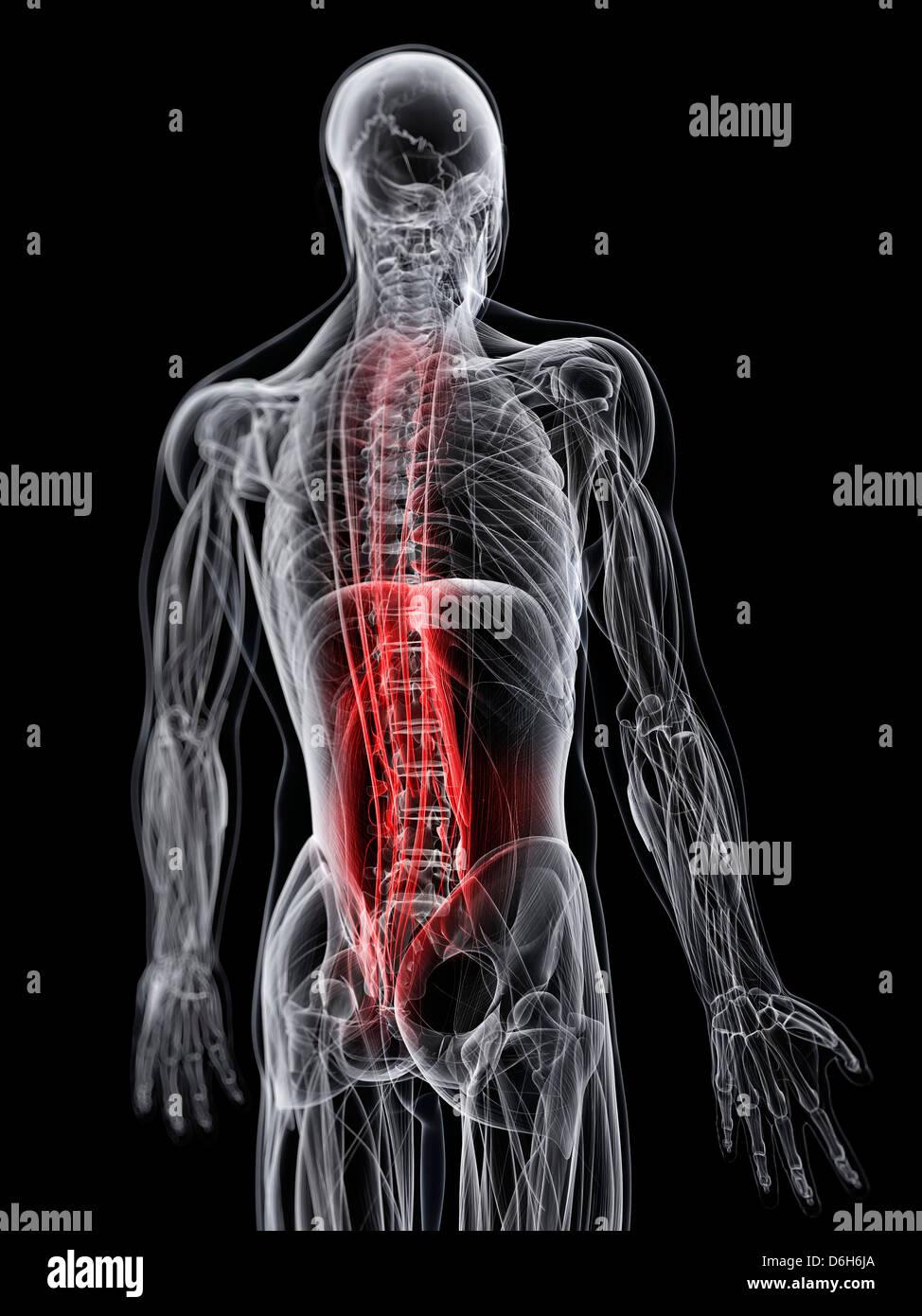 Man Back Pain Anatomy Stock Photos & Man Back Pain Anatomy Stock ...