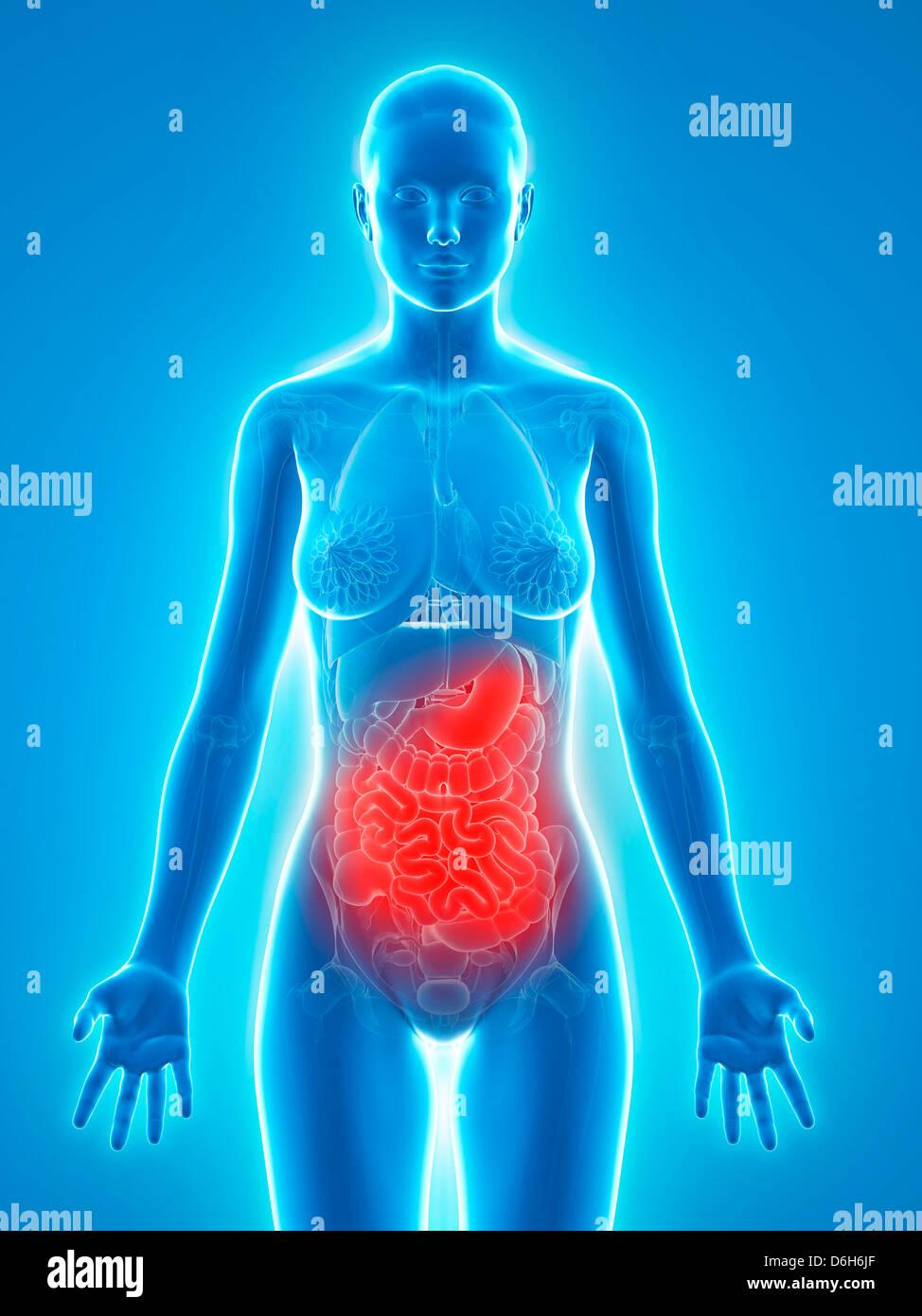 Female Abdominal Anatomy Stock Photos & Female Abdominal Anatomy ...